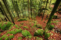 Landscape of a European beech or common beech (Fagus sylvatica) forest in autumn.