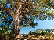 Scots pine or Red Pine tree (Pinus sylvestris). Els Ports Natural Park. Baix Ebre region, Tarragona province, Catalonia, Spain.