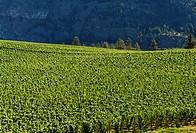 Canada, BC, Okanagan Falls. Okanagan Valley. Blue Mountain Vineyards in the landscape above Vaseau Lake.