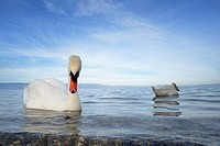 Mute Swan (Cygnus olor) pair on the water from Lake Geneva, Switzerland, close up with wide angle.