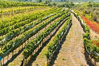 Canada, BC, Oliver in the Okanagan Valley. Rows of grape vines in the ´Golden Mile´, famed wine producing region.