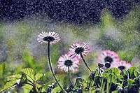 Daisy flowers, water droplets, backlit.