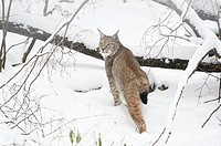 Close-up of a Eurasian lynx (Lynx lynx) in winter.