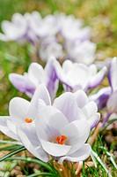 Crocus blooming in spring.