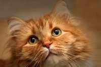 Orange Maine Coon Cat.