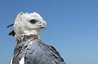 Harpy Eagle (Harpia harpyja) Venezuela