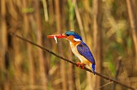 Malachite Kingfisher (Alcedo cristata) - With prey at the bank of the Chobe River. Photographed from a boat. Chobe National Park, Botswana.