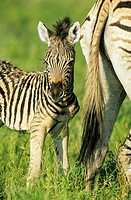 Burchell´s Zebra (Equus quagga burchelli) - Mare with foal during the rainy season in green surroundings. Kruger National Park, South Africa.