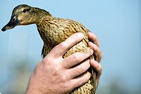 Duck in hands