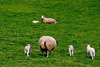 Sheep in a meadow, Asturias, Spain