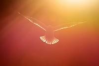 Herring gull (Larus argentatus) flying against sky with back light and sunset.