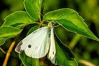 Cabbage White Butterfly (Pieris rapae) on Virginia Creeper (Parthenocissus quinquefolia) Leaf.