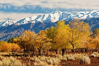 Trees in fall below the White Mountains, at the San Francis Ranch, est, 1861, Bishop, Eastern Sierra, California.