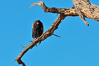 Bateleur eagle (Terathopius ecaudatus), perched on a dead tree, Kgalagadi Transfrontier Park, Northern Cape, South Africa, Africa.