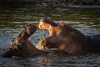 Common hippopotamus or hippo (Hippopotamus amphibius) fighting. Eastern Shores. iSimangaliso Wetland Park. KwaZulu Natal. South Africa.