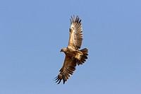 Tawny eagle (Aquila rapax) flying, Samburu National Reserve, Kenya.