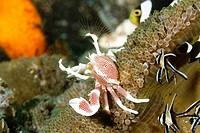 Porcelain crab (Neopetrolisthes maculatus) Lembeh Strait, Indonesia.