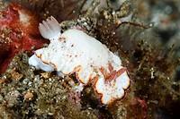 Goniobranchus preciosus nudibranch, Lembeh Strait, Indonesia.