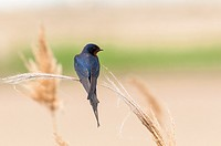 Barn swallow Hirundo rustica. Ebro Delta, Catalonia, Spain