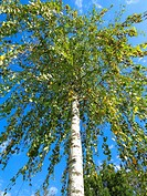 Birch tree (Betula pendula)