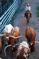 A Cowgirl Drives Texas Longhorns into Their Pens in Ft Worth.