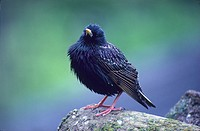 Sturnus vulgaris. Male of European starling. European bird.