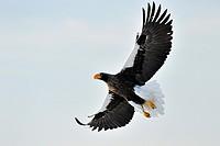 Steller´s Sea Eagle (Haliaeetus pelagicus) in flight against white sky, Rausu, Hokkaido, Japan.