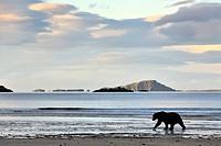Grizzly Bear (Ursus arctos horribilis) walking on beach along the coast, Katmai national park, Alaska, USA.