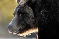 Grizzly Bear (Ursus arctos horribilis) portrait, close up and backlit, Kinak bay, Katmai national park, Alaska, USA.