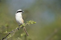 Long-tailed Shrike (Lanius schach) sitting on a branch, Ranthambhore national park, Rajasthan, India.