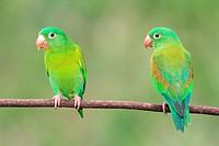 Brotogeris jugularis (Orange-chinned parakeet). Península de Nicoya, Costa Rica.