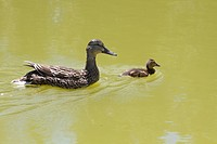 A female mallard and her duckling swimming.