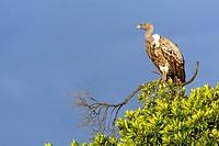 Rüppell´s vulture or Rüppell´s griffon vulture (Gyps rueppellii). Serengeti National Park. Tanzania.
