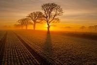 Arable and Oaks on a frosty sunrise Gimingham farmland Norfolk winter.