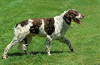 French Spaniel, Adult walking on Lawn.