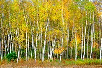 Birch trees with yellow fall color.