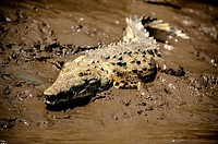 ´American crocodile (Crocodylus acutus)´. Although the crocodile has a menacing reputation and certainly should not be provoked, individuals large eno...