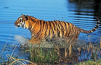 Bengal Tiger, panthera tigris tigris, Adult standing in Water.