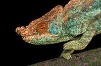 Parson´s Chameleon, chamaeleo parsonii.