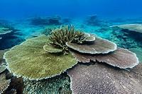 Underwater profusion of hard plate corals at Pulau Setaih Island, Natuna Archipelago, Indonesia.