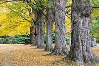 Fall color highlights stately maple trees in a new England cemetary.
