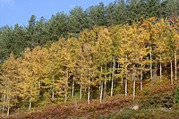 Plantation of Japanese Larch, Larix kaempferi and Corsican Pine, Pinus nigra laricio Wales, UK.