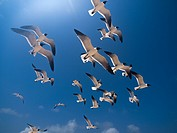 full Animal Themes Flying, Gulls Bonaparte 1 Animal Flying Gull Bonaparte in sky (Chroicocephalus philadelphia), South America archipiélago Los Roques...