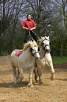 Percheron Draft Horses, a French Breed, Training for Equestrian Show, Normandy.