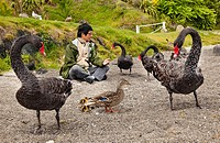 Korean tourist makes friends with black swans and duck with ducklings, Lake Taupo, North Island, New Zealand.