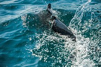 """"""""""" Dolphin"""" (Tursiops truncates),The ancient Greeks believed these dolphins would save people from drowning and protect them from sharks; it is tr..."