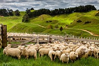 Sheep In A Pen Waiting To Be Counted and Weighed, Sheep Farm, Pukekohe, North Island, New Zealand.