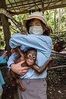 Young orangutan, Pongo pygmaeus, with tourist at the Orangutan Foundation Care Center, Camp Leakey, Borneo, Indonesia.