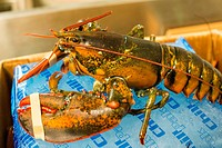 New York City, USA. Fresh and still alive lobster on display in a wholesale market stall at the New Fulton Fish Market, Hunts Point, The Bronx.