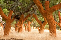 Cork Oak (Quercus suber) forest uncorked. Sierra de San Pedro. San Vicente de Alcantara. Province of Badajoz. Extremadura. Spain